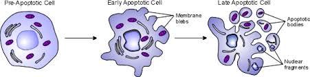 fucoidan-va-hien-tuong-apoptosis-2